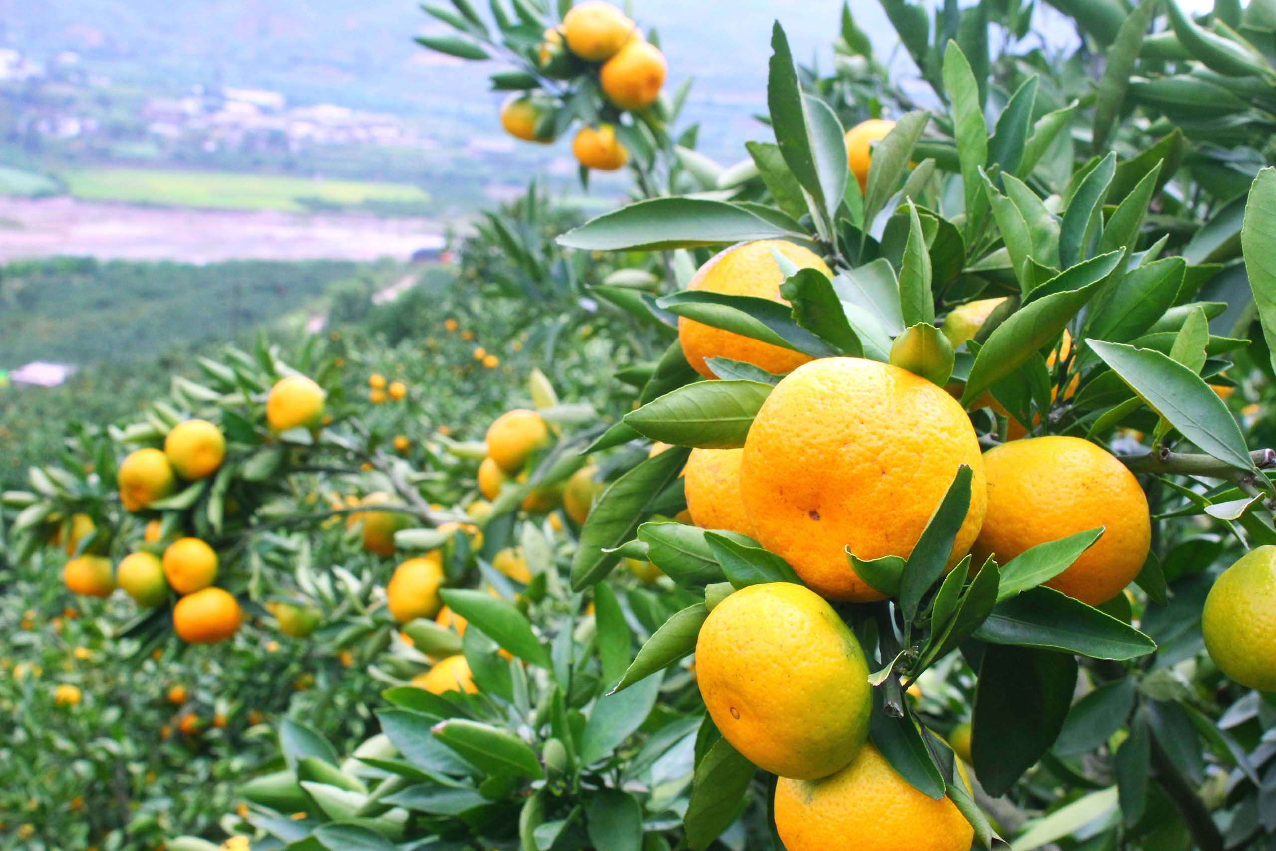 New citrus crop in Italy